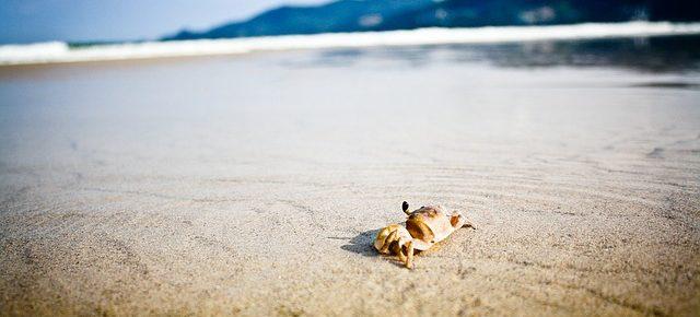 crabe à marée basse